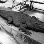 Espace et Compagnie - Crocodile